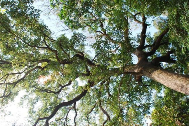老坑啂老楓香樹