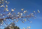 角板山梅花盛開