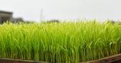 2017桃園農業博覽會彩繪稻田插秧 鄭市長:孕育農業博覽會主視覺彩繪稻田景觀