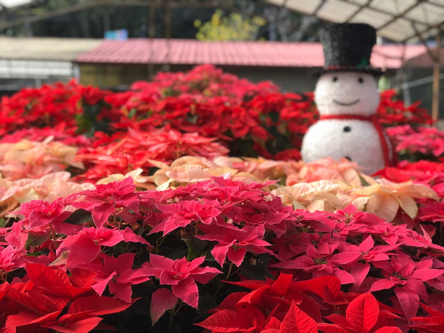 1081214-復興區-桃園山城聖誕紅花節農場造景