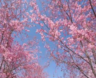 復興區巴陵部落櫻花之美